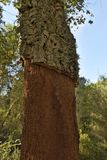 Cutting to extract the cork in the forest. Cut to extract the cork in a cork tree Stock Photos