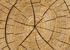 Cut of tree Royalty Free Stock Image