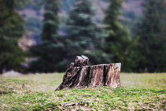 Cut tree. Maple tree stump on grass Royalty Free Stock Images