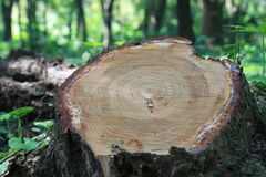 Cut tree. Show the annual rings Royalty Free Stock Images