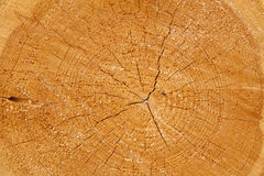 Cut tree. Trunk and annual rings of trees Royalty Free Stock Images