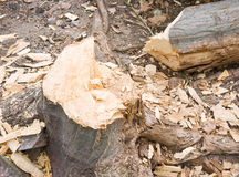 Cut tree. An aged tree was cut down by axe, leaving the scattered wood pieces Royalty Free Stock Photo