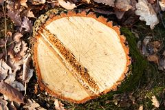 Cut a tree Stock Image