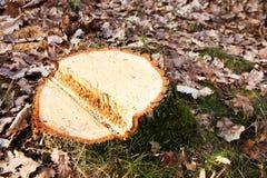 Cut a tree Stock Photo