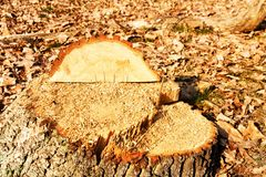 Cut a tree Royalty Free Stock Images