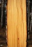 Cut Tree Royalty Free Stock Photo