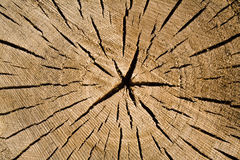 Cut of tree as texture Royalty Free Stock Images