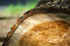 Cut of a tree Royalty Free Stock Photography