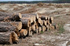Cut tree felling trees Royalty Free Stock Image