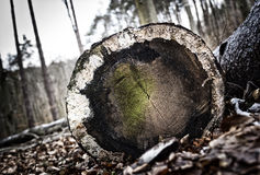 Cut of tree Forestry hard work Royalty Free Stock Photography
