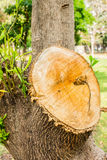 Cut tree in the garden, Tree stump Royalty Free Stock Images