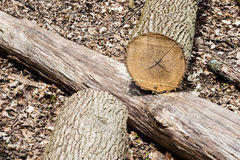 Cut tree log on another log in forest. Stock Image