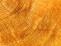 Cut of a tree an oak Royalty Free Stock Photo