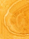 Cut of a tree an oak Stock Photography