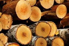 Cut  tree  pine  birch Royalty Free Stock Photo