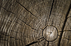 Cut of tree. Ring of life of the old tree royalty free stock image