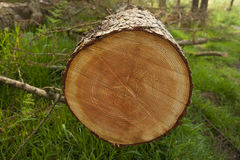 Cut tree rings in forest. Cut tree in forest showing tree rings Royalty Free Stock Photo
