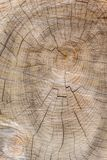 Cut through tree section with rings and cracks portrait royalty free stock photos