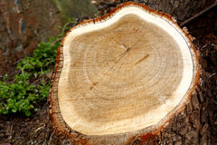 Cut tree stump Royalty Free Stock Photo