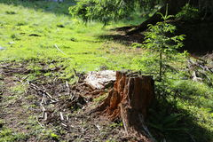Cut tree stump. And a small fir tree near Royalty Free Stock Images