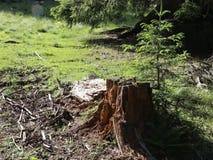 Cut tree stump. And a small fir tree near stock video