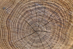 The cut tree Royalty Free Stock Images