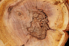 Cut tree trunk Royalty Free Stock Photos