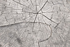Cut tree trunk - annular rings Royalty Free Stock Photo