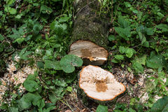Cut tree. Cut Tree Trunk in the Forest Royalty Free Stock Photos
