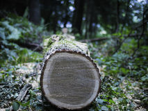 Cut tree trunk in a forest Royalty Free Stock Photos