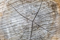 A Cut Tree Trunk. A full frame photograph of the cross section of a cut tree trunk royalty free stock photo