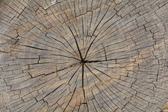 Cut tree trunk texture Royalty Free Stock Image