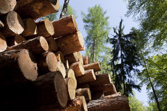 Cut tree trunks. Stock Photo