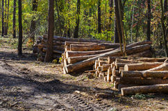 Cut tree trunks in a forest Royalty Free Stock Photo