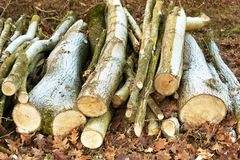 Cut tree trunks resting on the ground. In a winter forest in northern Italy, some cut logs are stacked on dry leaves royalty free stock photography