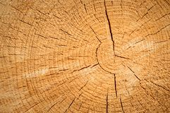 A cut tree with visible wood grains, old and dry tree. Poland, A cut tree with visible wood grains, old and dry tree europe bark bevelled trunk bright brown stock photo