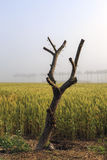 Cut tree on wheat field Stock Images