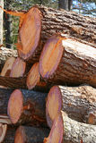 Cut Trees. Stacked freshly cut trees ready to be hauled away Royalty Free Stock Images