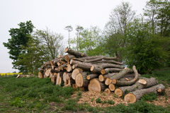 Cut trees. A pile of cut trees royalty free stock photo