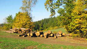 Cut trees in autumn landscape. Some cut trunks of trees lying under the trees with yellow leaves in autumn Stock Photography