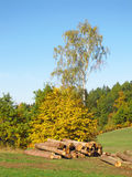 Cut trees in autumn. Some cut trunks of trees lying under the trees with yellow leaves in autumn Stock Photos