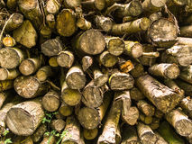 Cut Trees. Close up of trees piled up in the woods. Ready to be transported for manufacturing or fire wood Stock Photos