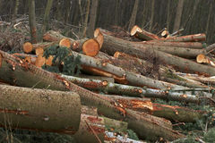 Cut trees down. Cut trees in a forest that was destroyed by a terrible storm Royalty Free Stock Photo