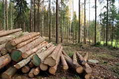 Cut Trees in Forest stock photo