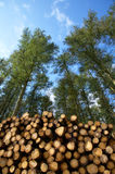 Cut trees in a forest. Stack of freshly cut trees in a forest Stock Image