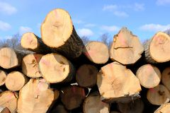 Cut trees for lumber industry Stock Image