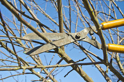Cut trim  fruit tree branch with wintage clippers scissor in spring garden Royalty Free Stock Photo