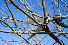 Cut trim prune apple tree branch in spring with scissors Royalty Free Stock Image
