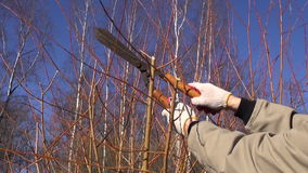Cut trim prune decorative willow  tree branch in spring farm garden stock video