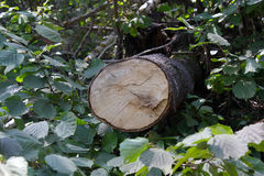 Cut trunk of the fallen tree in the forest Royalty Free Stock Image